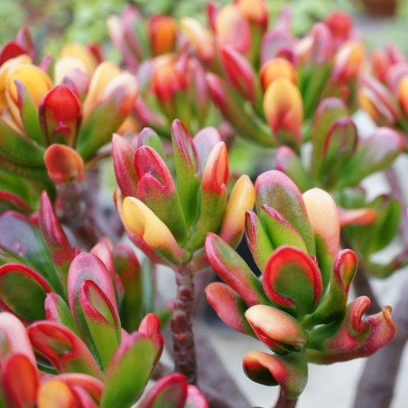Crassula ovata 'Red Horn Tree'