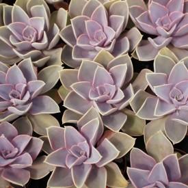 Echeveria 'Pearl Von Nurnberg'