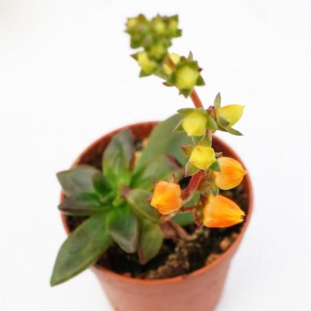 Echeveria compressicaulis