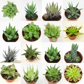Collection d'Haworthia - Pot de 8cm