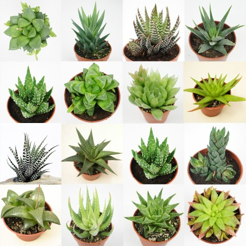 Collection d'Haworthia