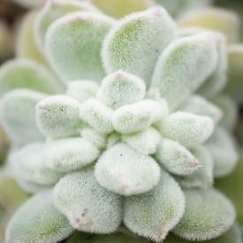 Echeveria pulvinata 'Frosty' form. cristata