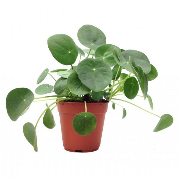 pilea peperomioides pot diam 12cm arr e succulentes. Black Bedroom Furniture Sets. Home Design Ideas