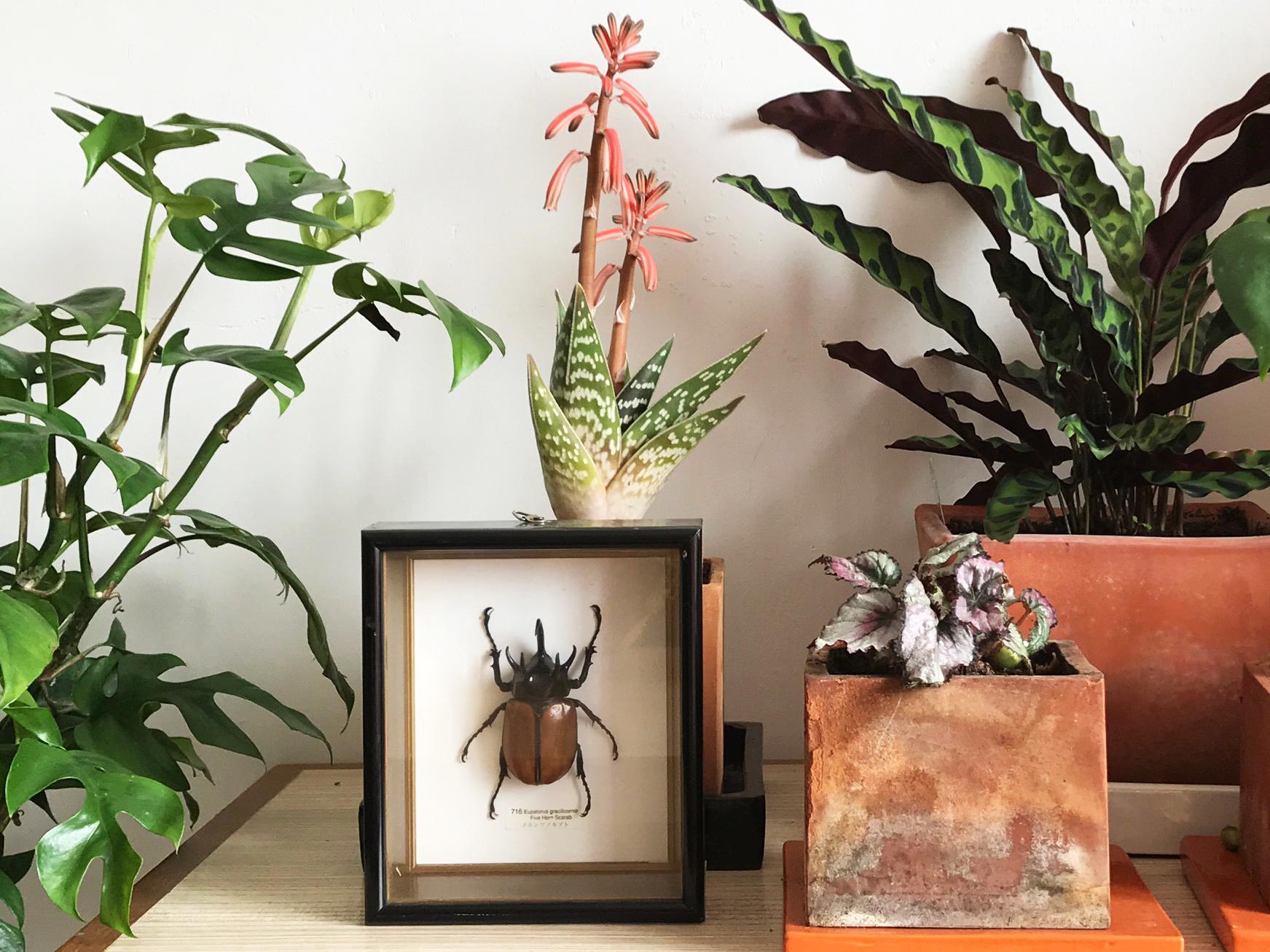Aloe variegata en fleur